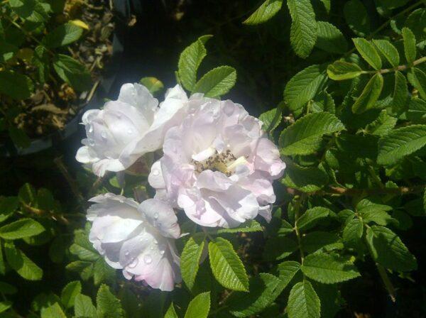 rosa-henry-hudson-rose