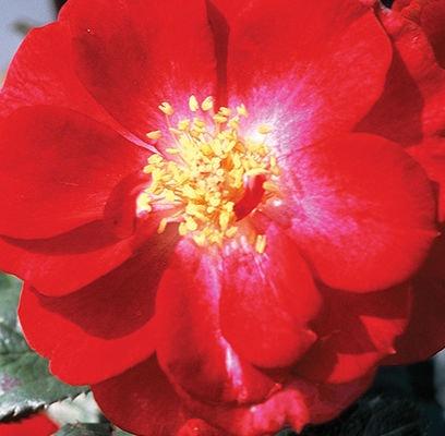 rosa-henry-kelsey-rose