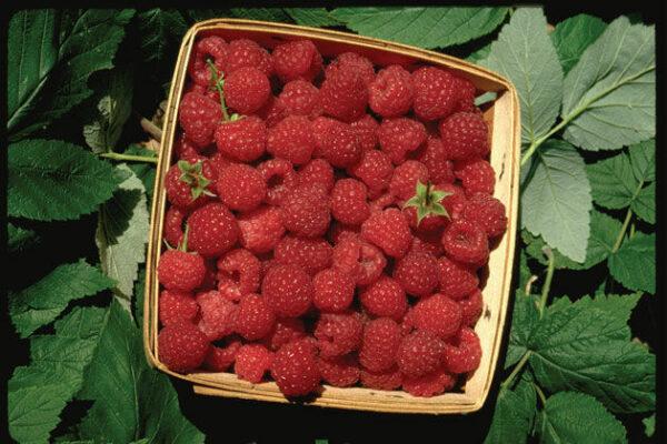 rubus-idaeus-boyne_raspberry
