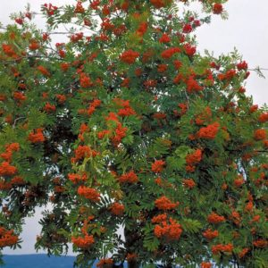 sorbus-aucuparia-european-mountain-ash
