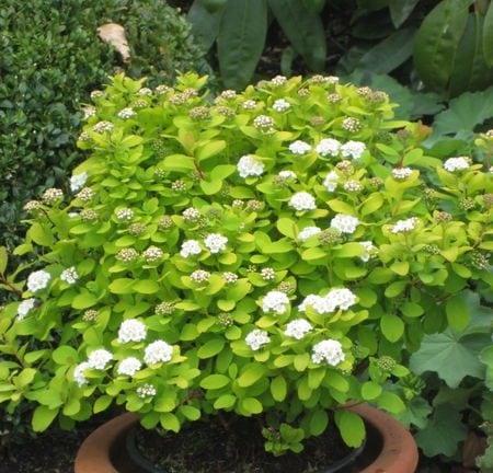 spiraea-betulifolia-gold-tor-glow-girl-birchleaf-spirea