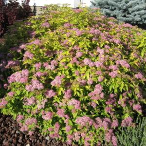 spiraea-japonica-gold-mound-goldmound-spirea