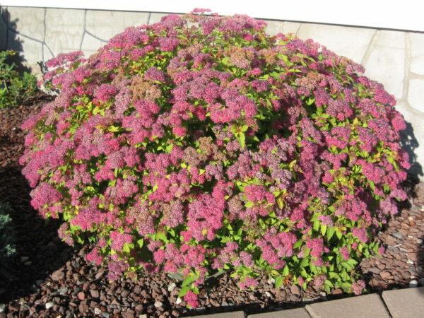 spiraea-japonica-magic-carpet-spirea