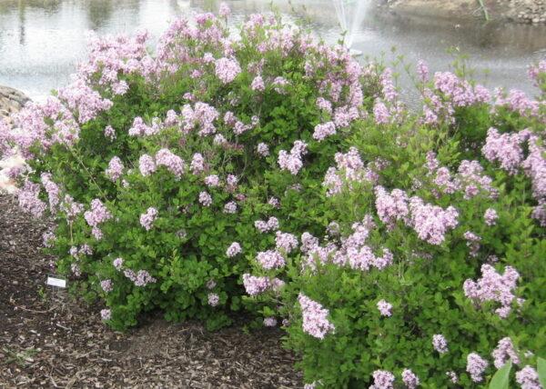 syringa-meyeri-palibin-dwarf-korean-lilac