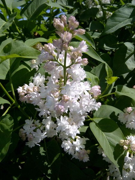 syringa-vulgaris-beauty-of-moscow-bloom-french-lilac