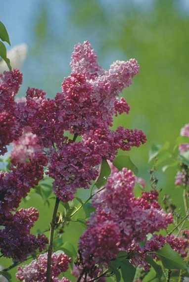syringa-vulgaris-belle-de-nancy-french-lilac
