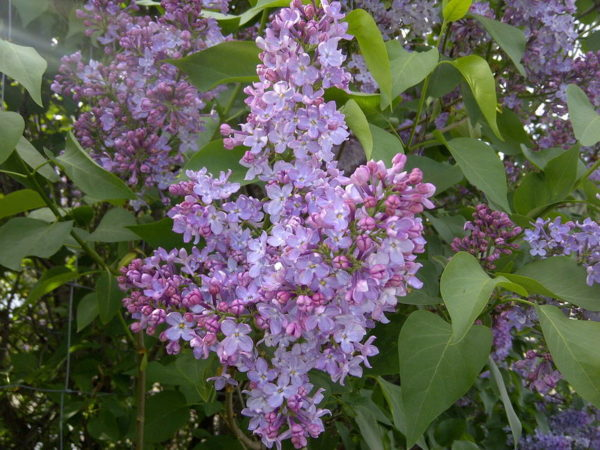 syringa-vulgaris-common-lilac