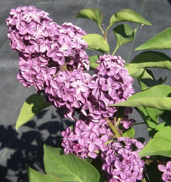 syringa-vulgaris-ludwig-spaeth-bloom-ludwig-spaeth-french-lilac