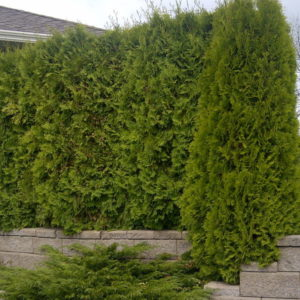 thuja-occidentalis-smaragd-emerald-green-cedar