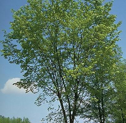 ulmus-americana-american-elm