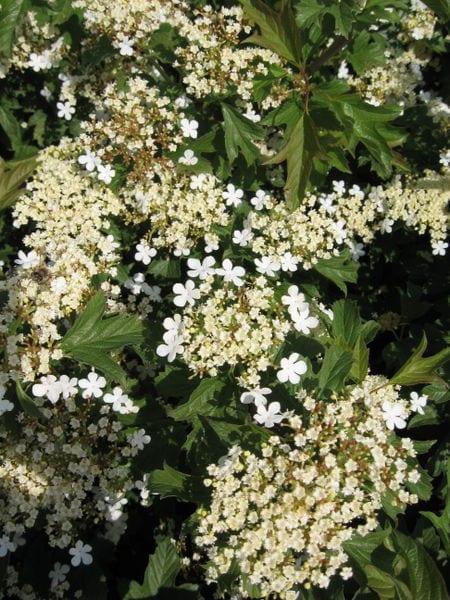 viburnum-opulus-compactum-compact-european-cranberry
