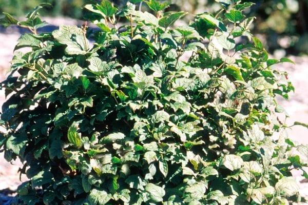 viburnum-opulus-nanum-dwarf-european-cranberry