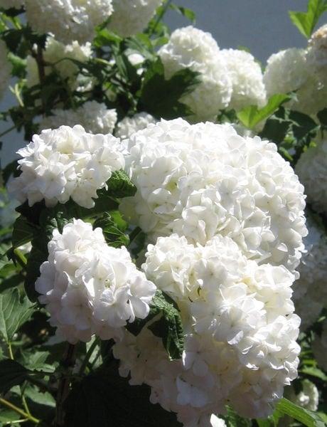 viburnum-opulus-roseum-common-snowball