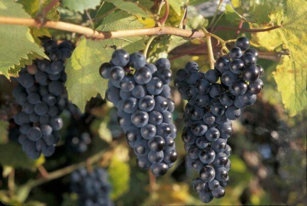 vitis-x-marquette-grape-assorted