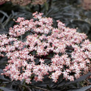 black-lace-sambucus-elderberry