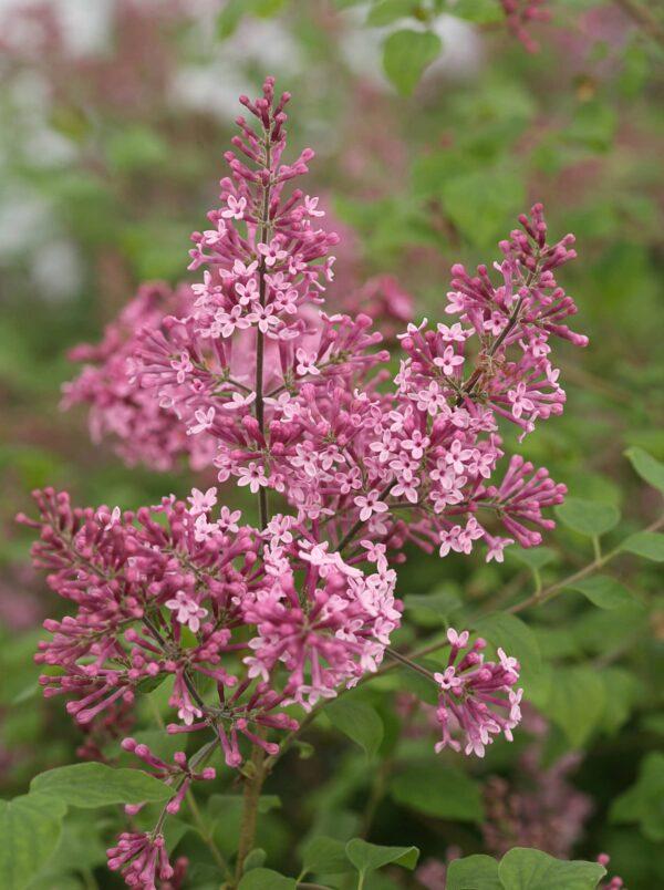 bloomerang-pink-perfume-syringa-lilac