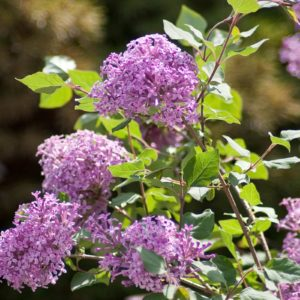 bloomerang-purple-syringa-8801-lilac