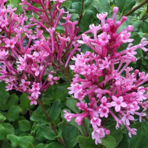 syringa-bloomerang-dwarf-pink-lilac