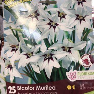 acidanthera-bicolor-murilea-peacock-flower-bulb-florissa