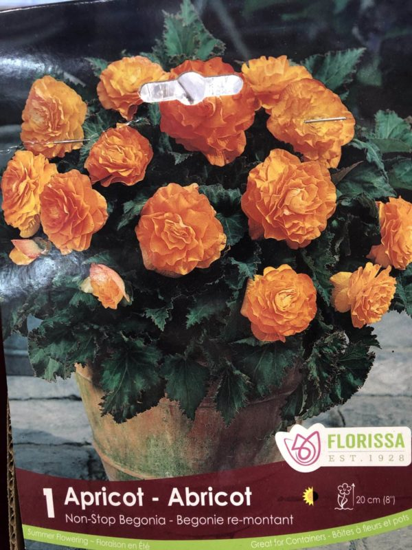 begonia-apricot-bulb-florissa