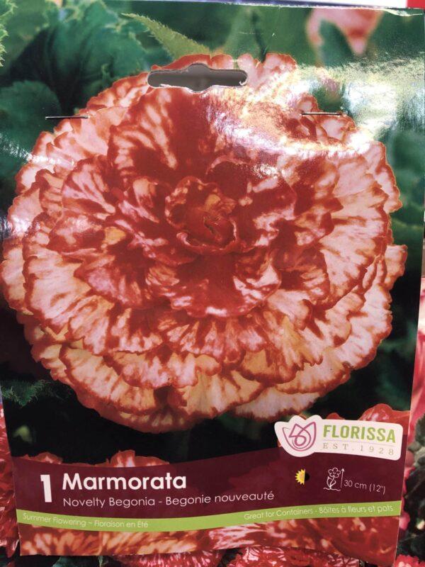 begonia-marmorata-bulb-florissa