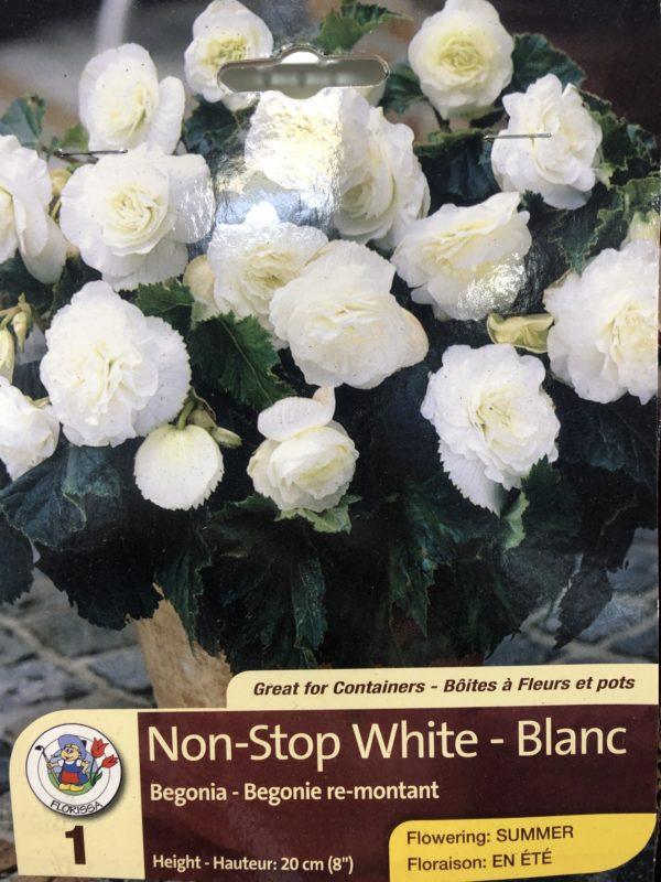 begonia-non-stop-white-bulb-florissa