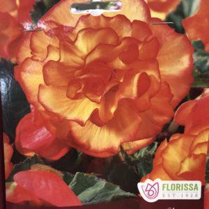 begonia-picotee-yellow-bulb-florrisa