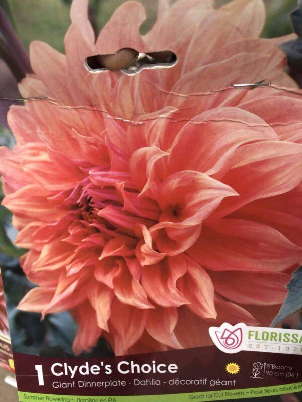 dahlia-clydes-choice-bulb-florissa