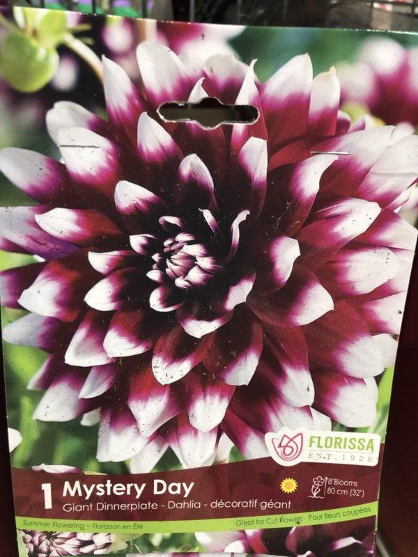 dahlia-mystery-day-bulb-florissa