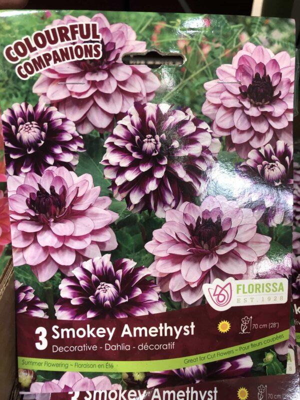 dahlia-smokey-amethyst-bulb-florissa