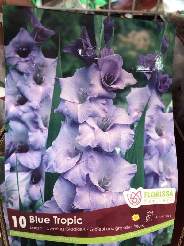 gladiolus-blue-tropic-bulb-florissa