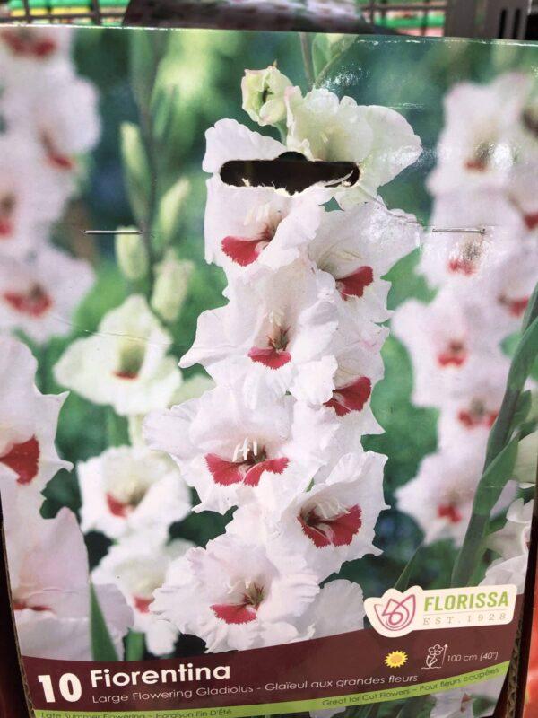gladiolus-fiorentina-bulb-florissa