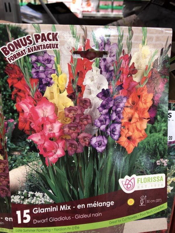 gladiolus-glamini-mix-bulb-florissa