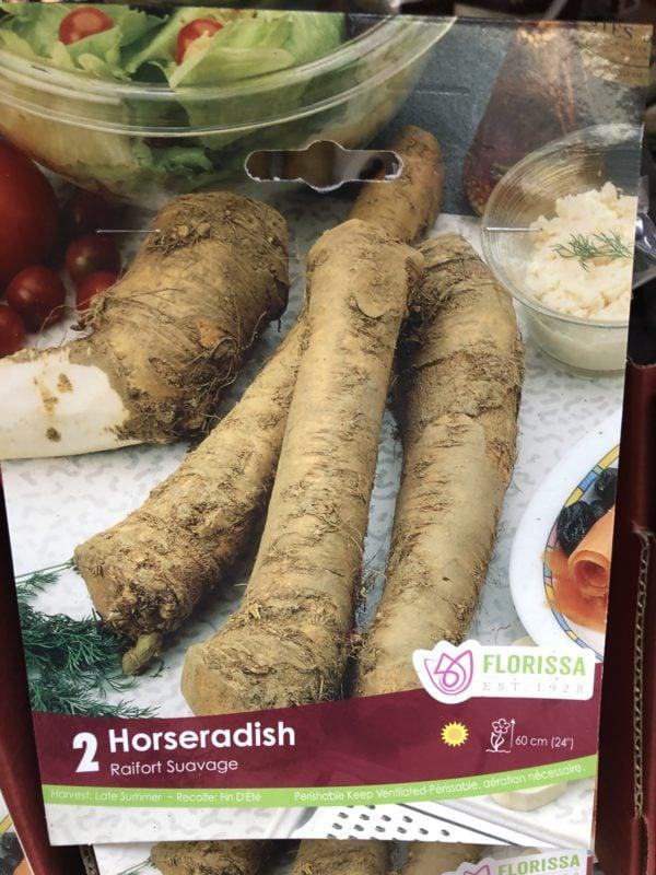 horseradish-bulb-florissa