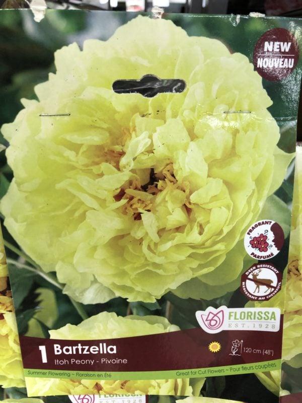 peony-itoh-bartzella-bulb-florissa