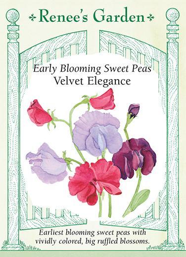 sweet-pea-velvet-elegance-early-blooming-renees-garden
