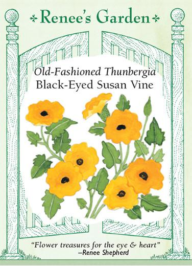 thunbergia-black-eyed-susan-vine-old-fashioned-renees-garden