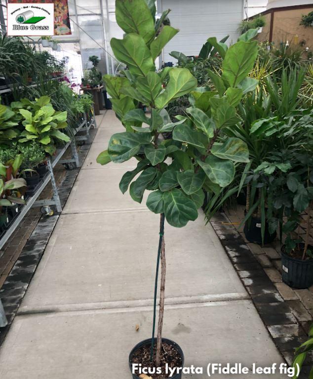 Fiddle Leaf Fig Ficus Lyrata Blue Grass Nursery Sod Garden