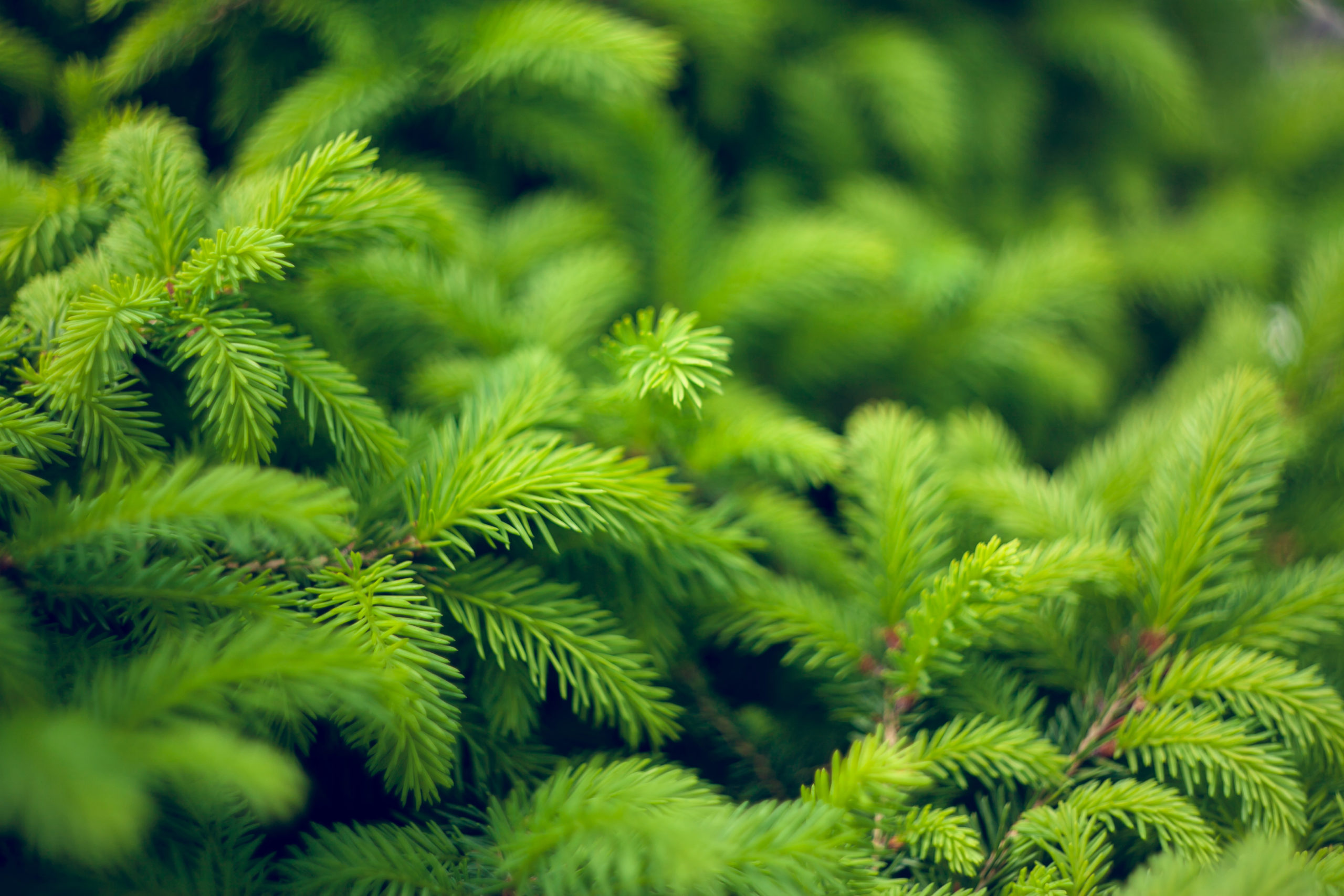 Norway Spruce close up shutterstock_1801613548