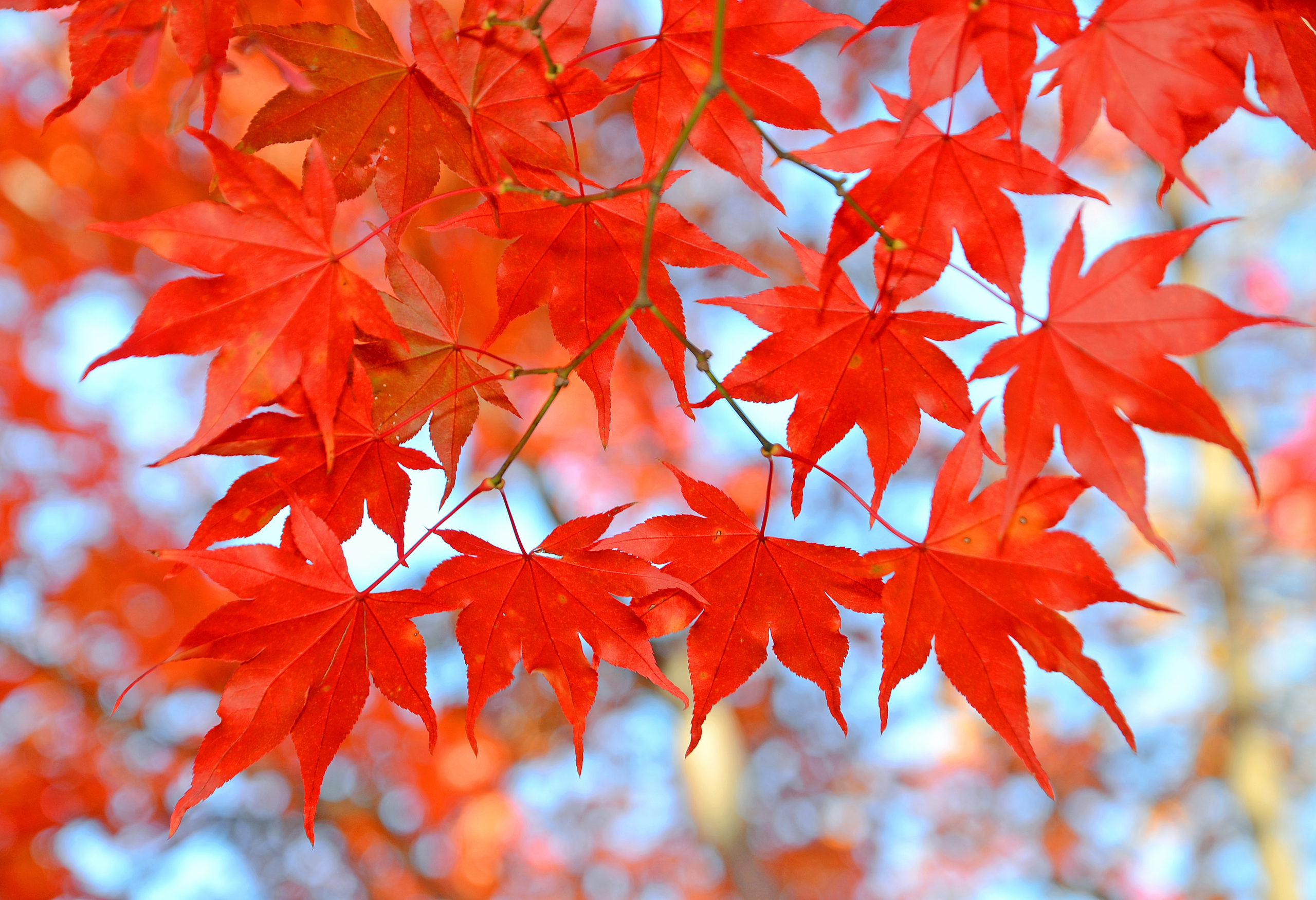 fall red maple leaves shutterstock_301763174