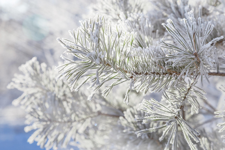 conifer with hoar frost shutterstock_1214608072