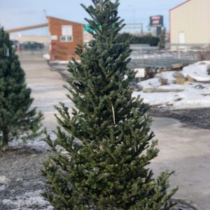 fraser-kris-kringle-skinny-christmas-live-tree-farm-direct-fresh