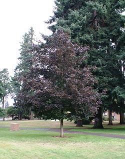 acer-platanoides-prairie-splendor-maple