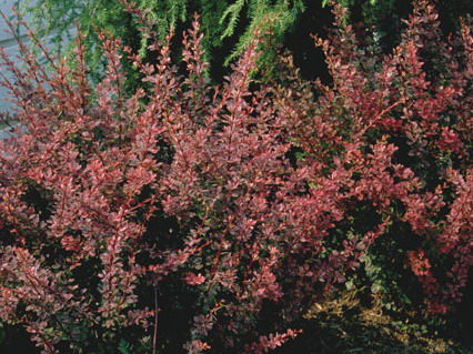berberis-thunbergii-gentry-royal-burgundy-barberry