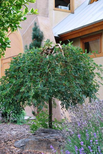 caragana-arborescens-pendula-weeping