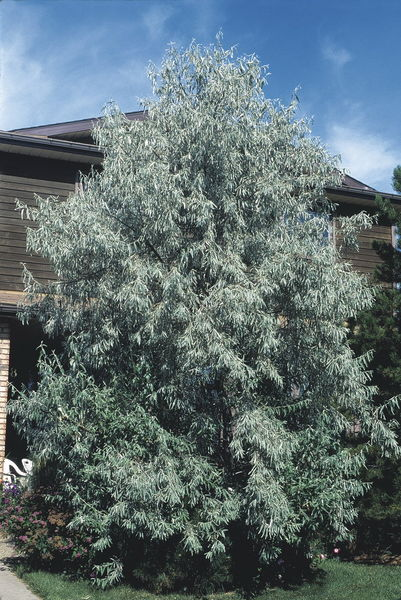 eleagnus-angustifolia-russian-olive