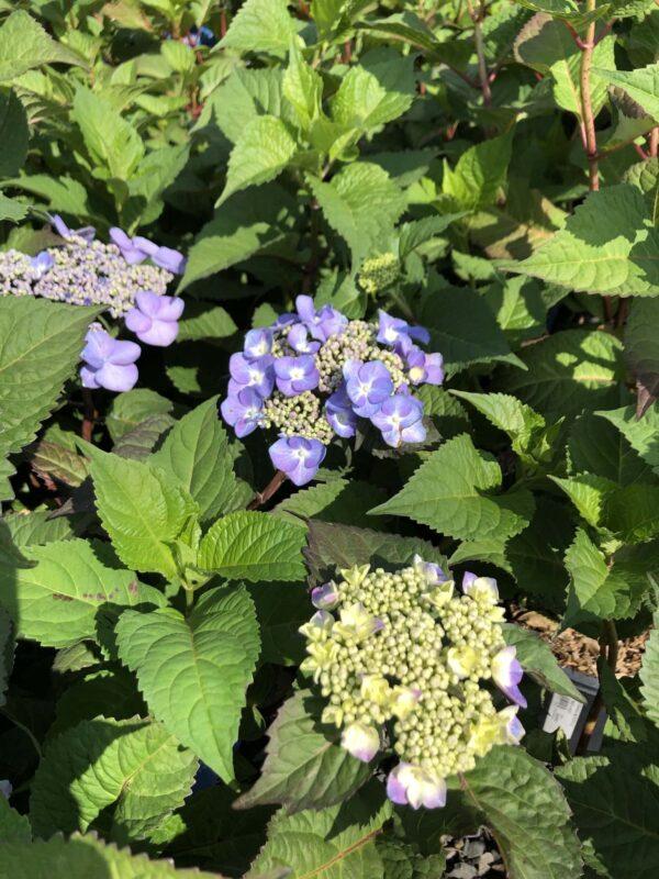 hydrangea-bloomstruck