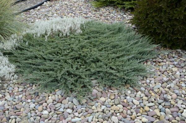 juniperus-horizontalis-blue-chip-juniper