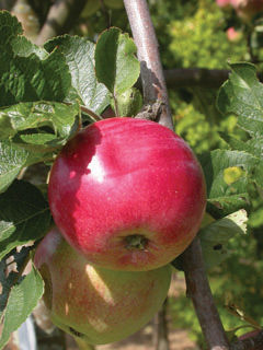 malus-red-sparkle-apple