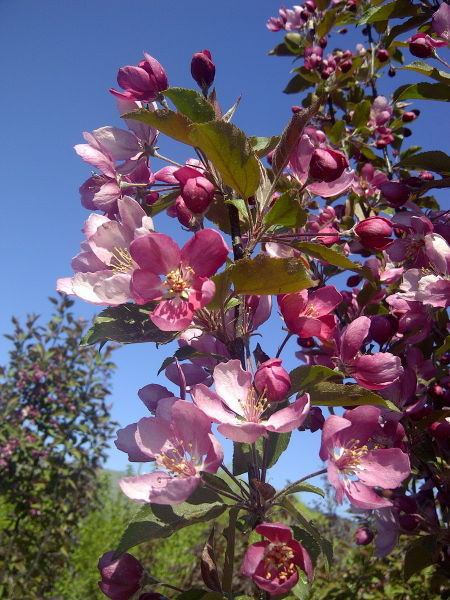 malus-thunderchild-bloom-crabapple